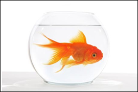 Does Your Paycheck Suffer From Goldfish Syndrome?